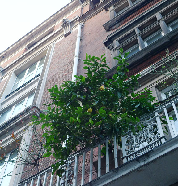Lemons growing on Wigmore St, 15 February