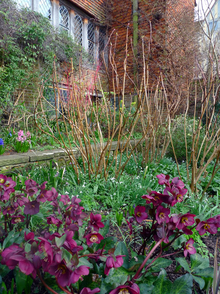 Snowdrops, hellebores and a shrub at Great Dixter