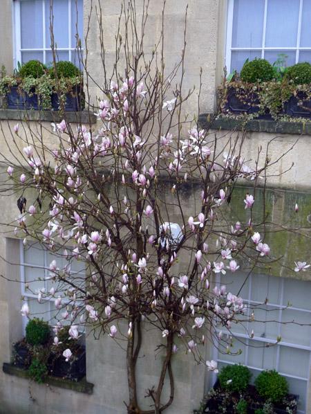 Magnolia in the Royal Crescent, Bath