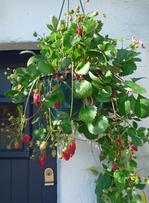 Strawberries in a hanging basket