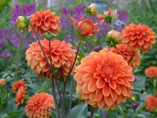 orangedahlias