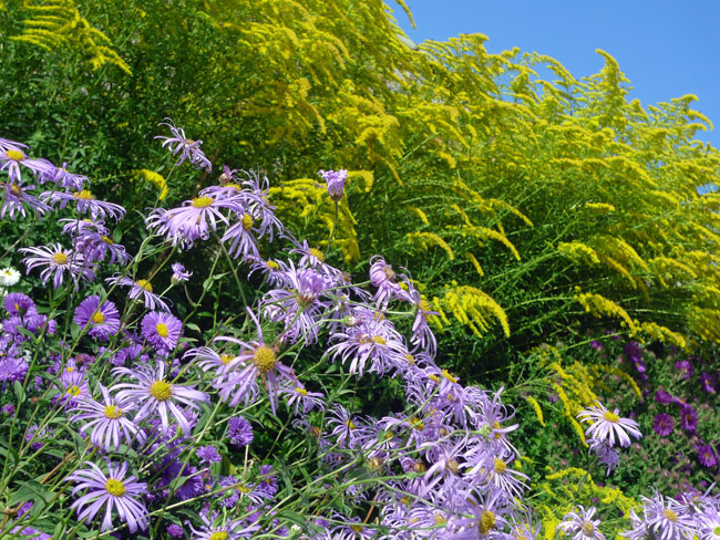 Aster and solidago at Waterperry Gardens, Oxfordshire