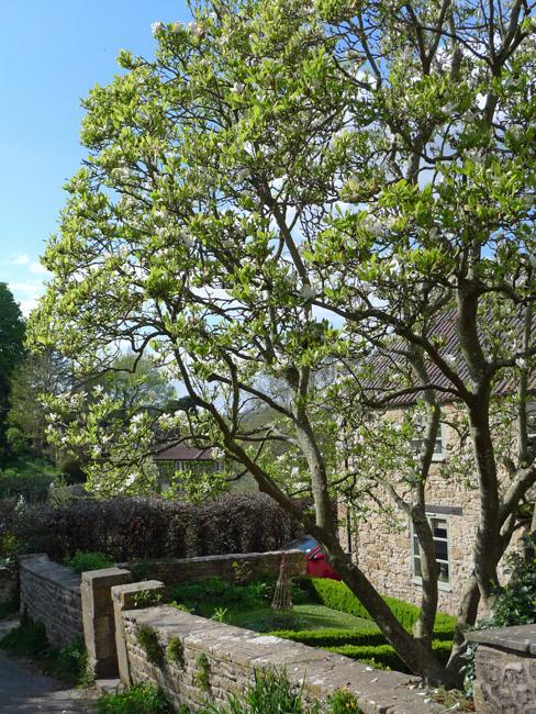 Englishcombe magnolia