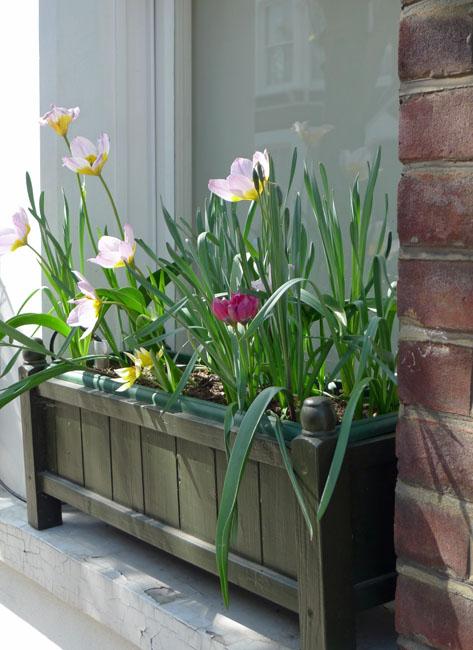 Tulips Hamm