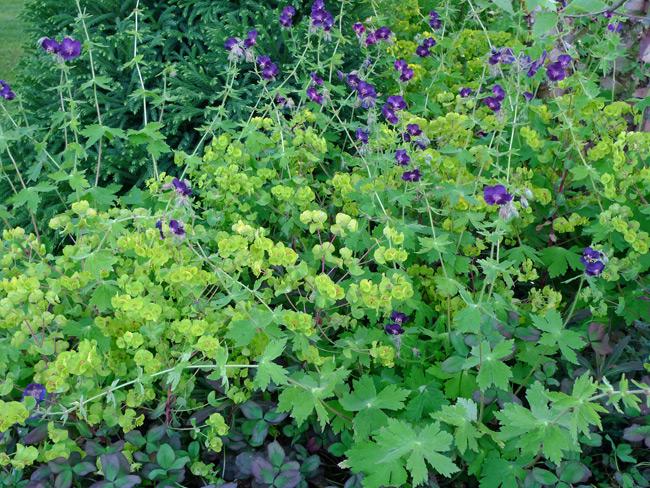 Geranium phaeum and euphorbia