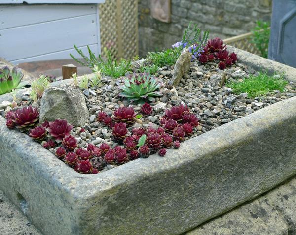 Succulents in a trough