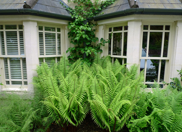 Ferns growing under a window
