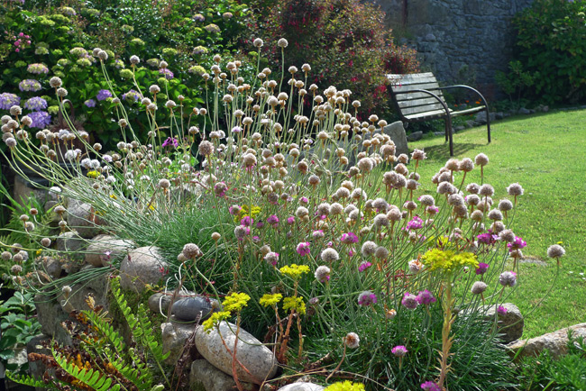 Sea thrift on a dry stone wall