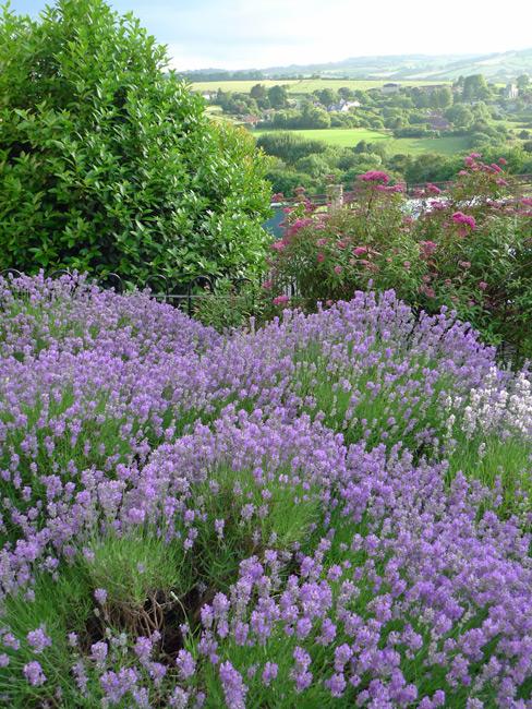 Lavender in front garden