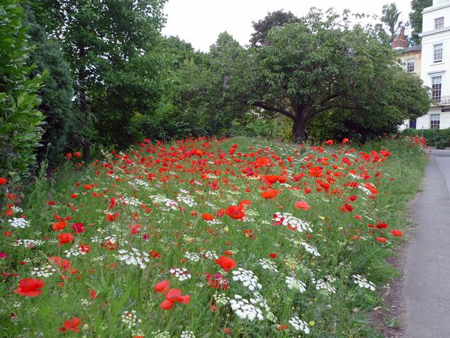 Poppies-in-Cheltenham