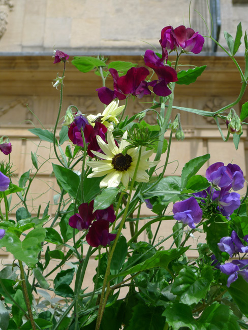 Sweet pea and sunflower at the Holbourne Museum, Bath