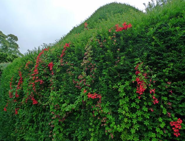 Yew hedge and Tropaeolum speciosum