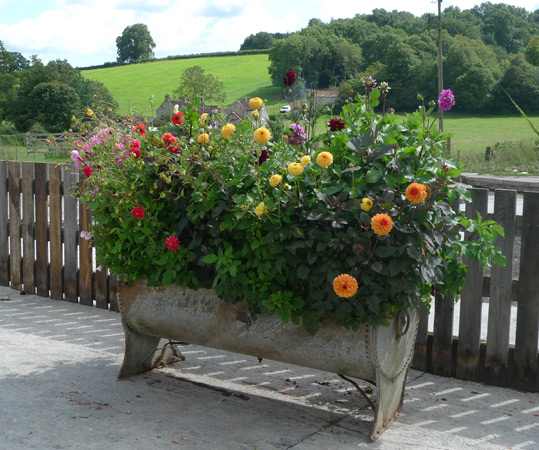Dahlias in a trough