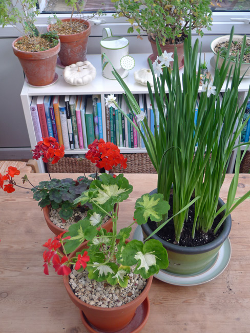 Pelargoniums and paperwhite narcissisi in conservatory