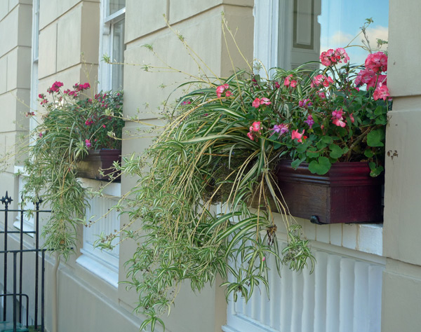 Spider plants in a window box