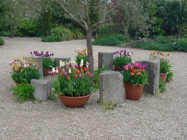Arundel-tulips-in-pots