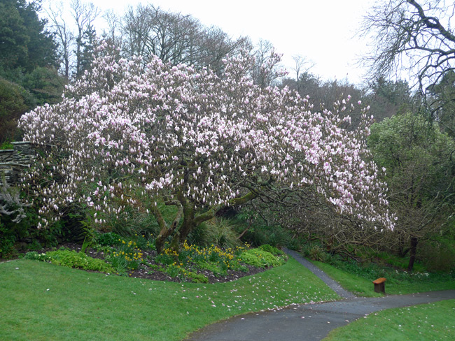 Coleton-magnolia