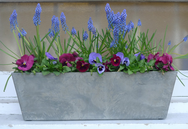 Pansies-and-muscari