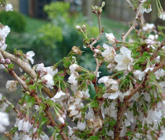 Prunus-incisa-kojo-no-mai