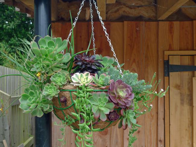 Succulent-hanging-basket