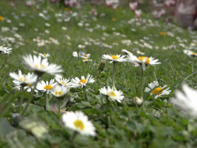 Daisies in lawn