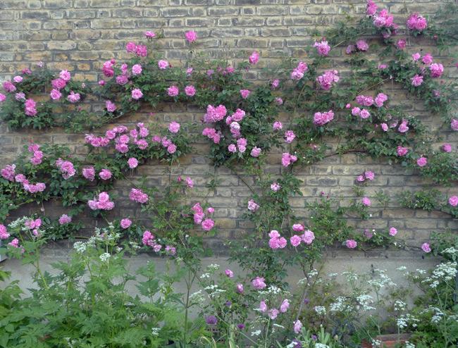 Rose 'Blush 'Noisette'