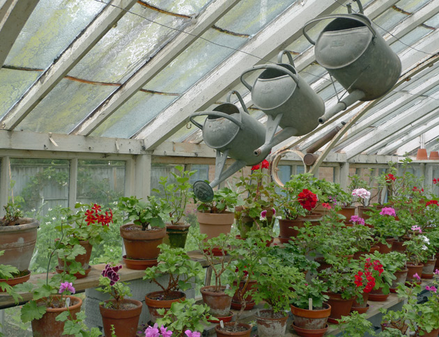 Watering cans and pelargoniums in the greenhouse at Bryan's Ground