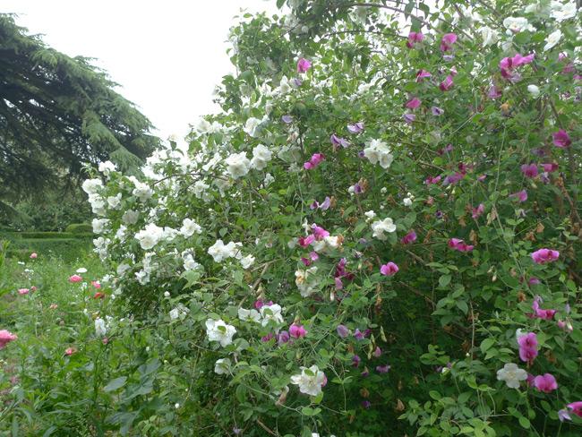 Hidcote-sweet-pea-and-rose